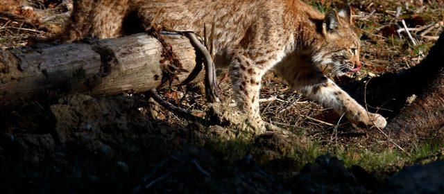 Lynx photographs are chosen