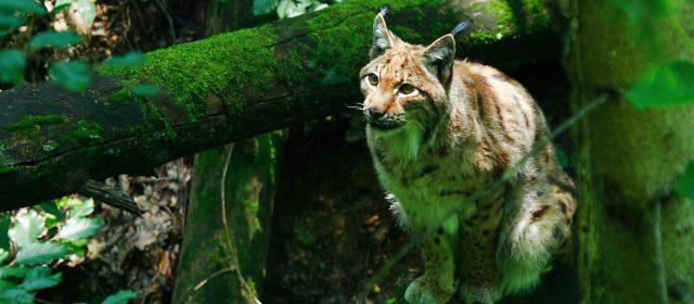 Do we need the lynx?