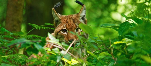 LIFE Lynx- Slovenian Field Blog