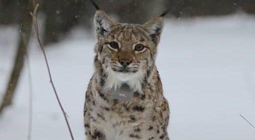 LIFE Lynx- Hrvatski terenski blog