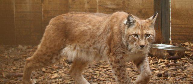 LIFE Lynx- Slovenski terenski blog