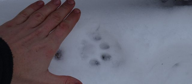 Snow tracking of the remnant lynx in Slovenian forests