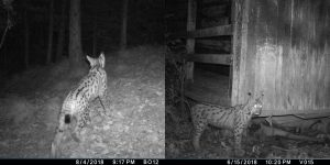 Six-month report on camera trapping in Croatia - Life lynx
