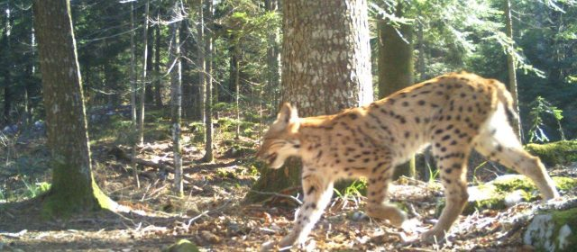 Presenting results of camera trapping in Gorski kotar