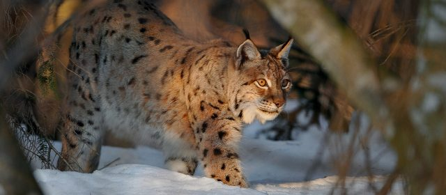Second captured lynx is getting a new home and a new name