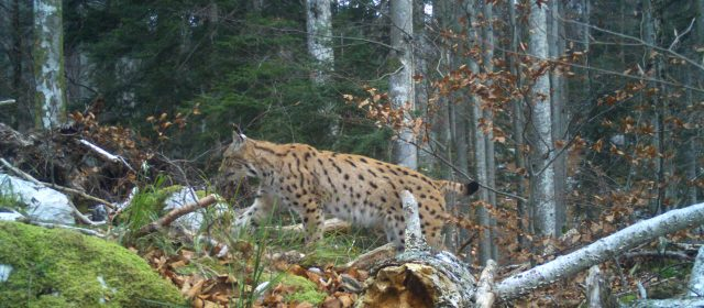 We counted 17 adult lynx in Slovenia using camera-traps
