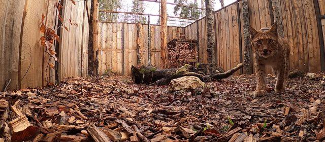 Catalin – una nuova lince nelle foreste Dinariche