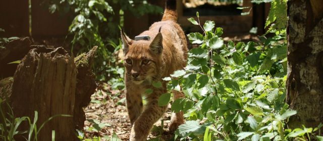 First lynx arrived from Slovakia to Slovenia