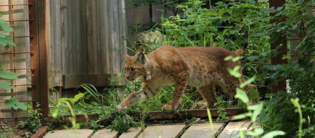 Lynx Maks ran into Snežnik forests