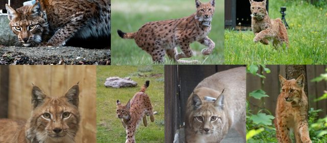 Great success – seven lynxes translocated in two years