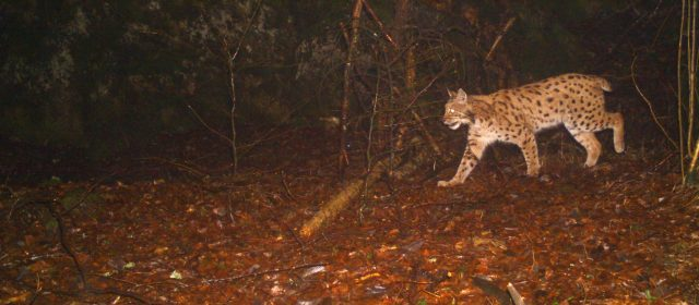 20 adult lynx recorded in Slovenia between 2019 and 2020