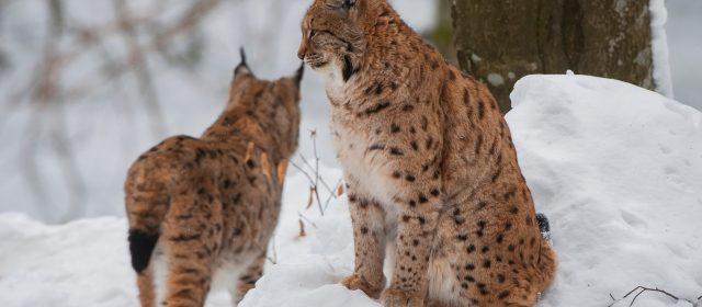 Triglavski narodni park in LIFE Lynx združujeta moči za rise