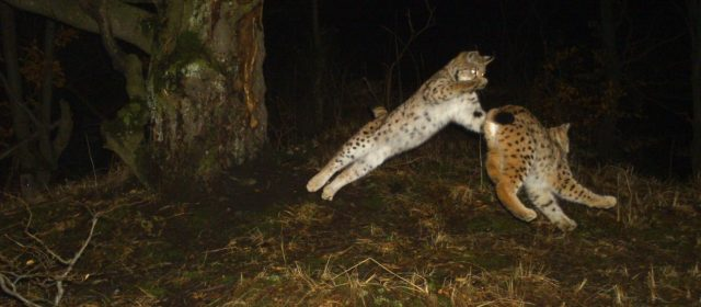 Technical report on lynx monitoring activities in Slovakia