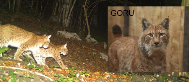 Confirmed – Goru is the father of Teja's kittens