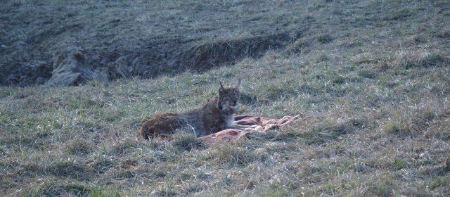 Il LIFE Lynx in Romania sta lavorando a pieno regime